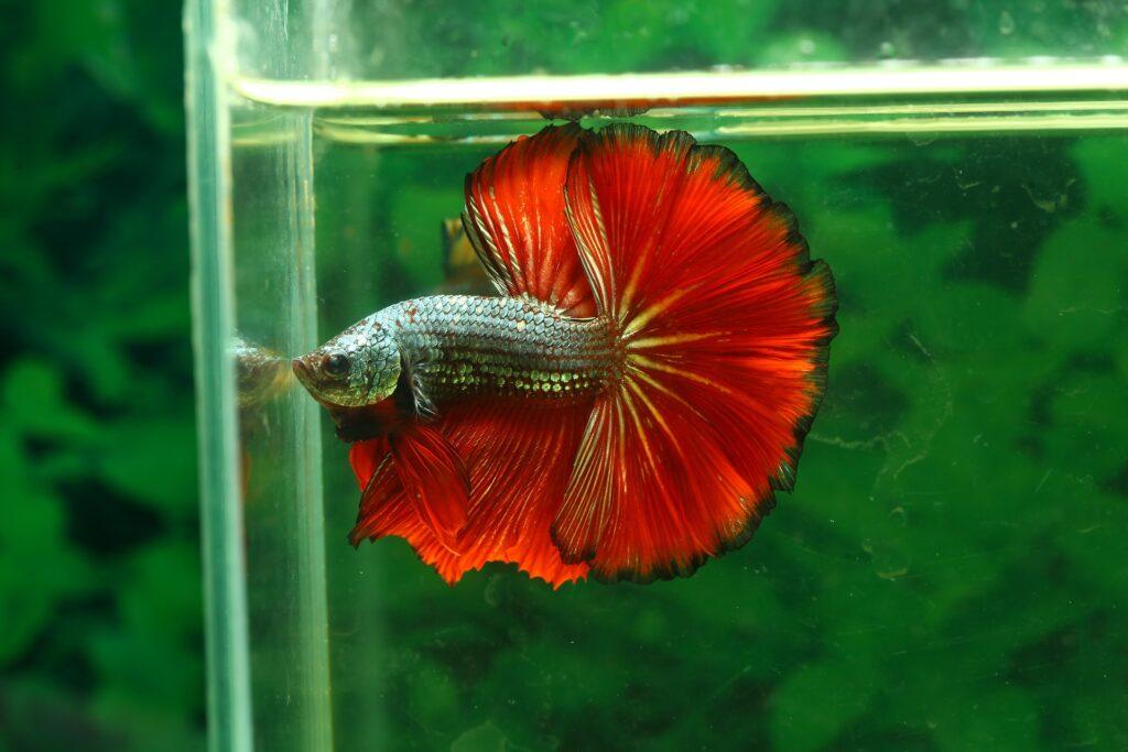 Un pez Betta mirando a través de la pecera