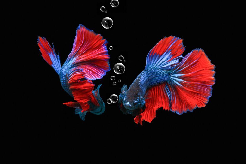 Dos peces betta