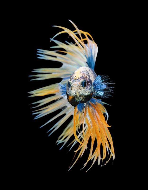 ¿Por qué mi pez betta está inactivo?