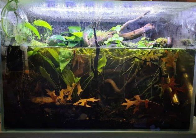Wild Betta Albimarginata: guía completa para la cría, perfiles, alimentación, configuración del tanque, cría de este pez