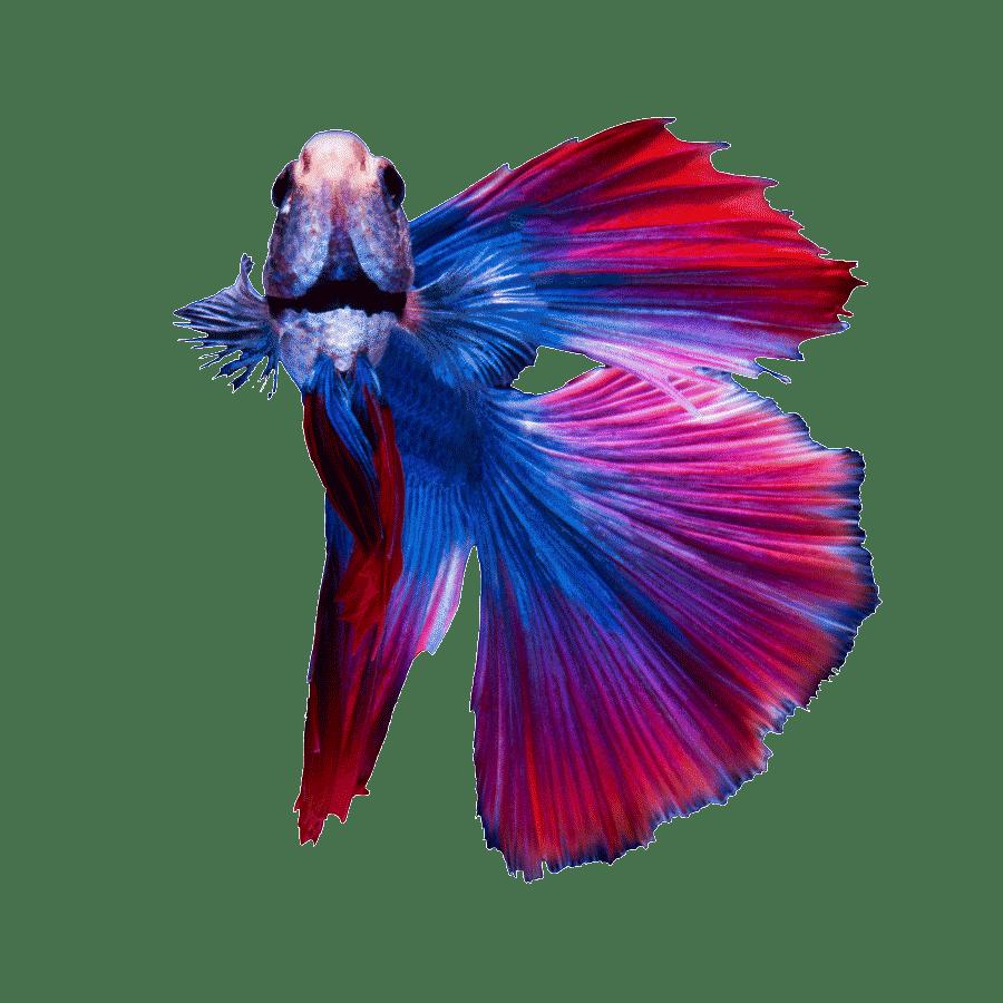 Un pez betta mira al lector de forma curiosa
